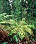 Tree ferns in temperate rainforest
