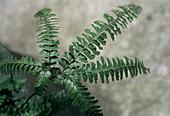 Northern maiden hair fern