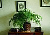 Maidenhair fern (Adiantum cuneatum)