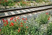 Poppies beside a rail track