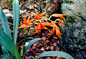 Red-orange ada (Ada aurantiaca)