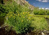 Arrowleaf ragwort (Senecio triangularis)