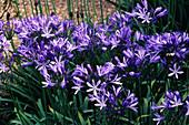 Blue Lilies flowers
