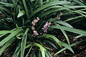 Border grass flowers (Liriope muscari)