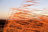 Common reeds (Phragmites communis)