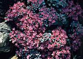 Stonecrop plants