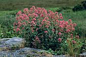 Red valerian flowers (Centranthus ruber)