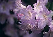 Rhododendron 'Eleanor Hapgood'