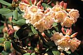 Rhododendron 'Carita Inchmerry'