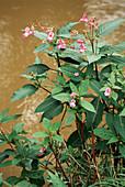 Himalayan balsam (Impatiens grandulifera)