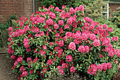 Rhododendron 'Cynthia' flowers