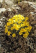 Dionysia flowers