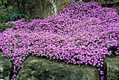 Wallcress flowers