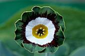 Show auricula 'Tosca' flower