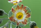 Show auricula 'Lord Saye en Sele' flower