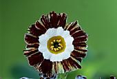 Show auricula 'Mazeta Stripe' flower