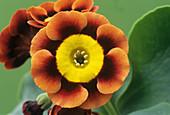 Alpine auricula 'Ancient Society' flowers