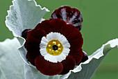Show auricula 'Gizabroon' flowers