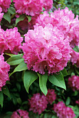 Rhododendron flowers (Rhododendron sp.)