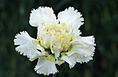 Pink flower (Dianthus 'Madonna')