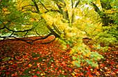 Fallen leaves of autumn Maple tree
