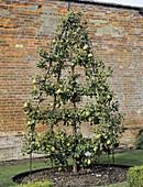 Pear tree 'Glen Morceau'