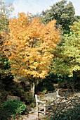 Japanese maple 'Senaki'