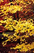 Japanese maple (Acer palmatum) foliage