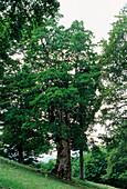Sycamore tree (Acer pseudoplatanus)
