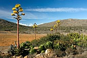 Shaw's agave (Agave shawii)