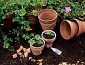 Pelargonium propagation