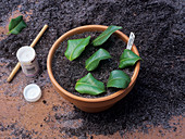 Camellia propagation