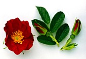 Dog rose flower,buds and leaves