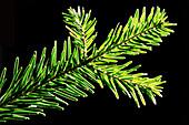 Silver fir twig