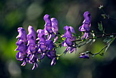 Monkshood flowers (Aconitum axilliflorum)