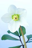 Hellebore flower (Helleborus sp.)