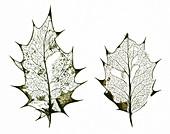 Holly leaf skeletons