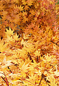 Coral-bark maple leaves