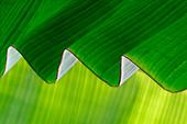 Rippled banana leaf