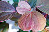 Copperleaf (Acalypha wilkesiana)