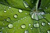 Lady's mantle leaf (Alchemilla mollis)