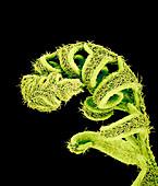 Young brackenfern leaf,SEM