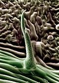 Lantana leaf trichome,SEM