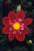 Dahlia 'Don Hill' flower