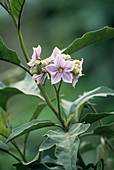 Solanum sp. flowers