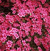 Azalea (Rhododendron sp.)