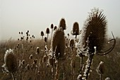 Frost-covered teasel seed heads