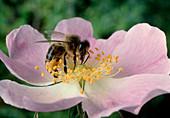 Worker bee pollinating a sweetbriar flower