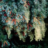 Pollen shower from the noble fir