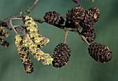 Alder catkins and cones (Alnus glutinosa)